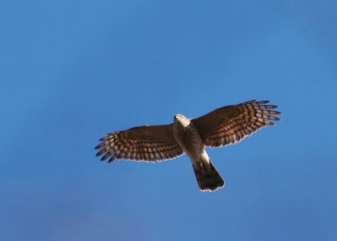 ハイタカ(鳥)
